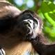 Mantled-Howler-Monkey-15