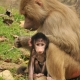 A-baby-baboon-story