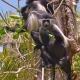 Four-Colobus-Monkeys