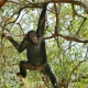 Chimp swinging in Gombe in Tanzania.