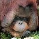Borneo-orang-utan-Apenheul