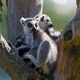Two lemurs sitting on a branch fork on their island.