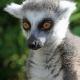 Ring-Tailed-Lemur-1