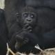 Gorilla-baby-Apenheul