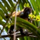 Yellow Howler Monkey at Corcovado National Park