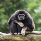 I am a really bored Gibbon