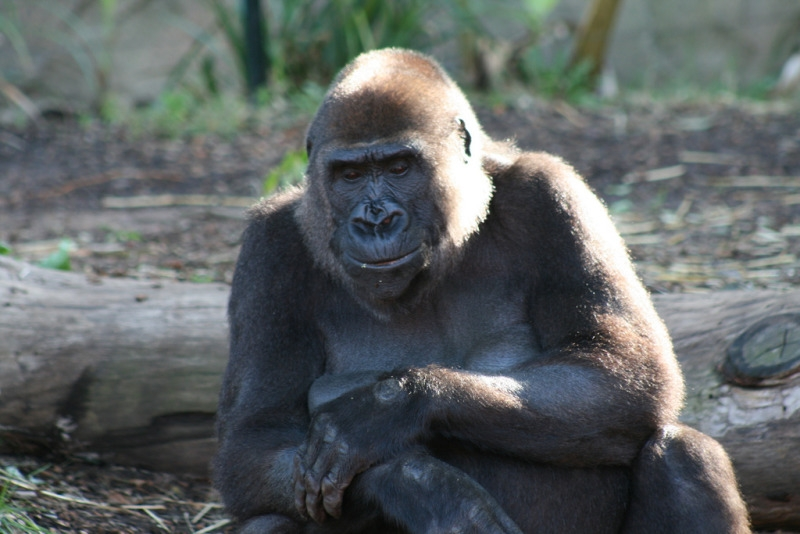 Relaxing Gorilla arms folded