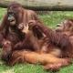 Older Orangutan monkeys playing