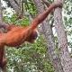 Orangutan-17
