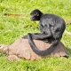 Spider Monkey on a Tortoise