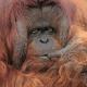 Full on Orangutan