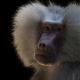 Mantel-baviaan-Baboon