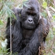 Handsome Gorilla in the Congo